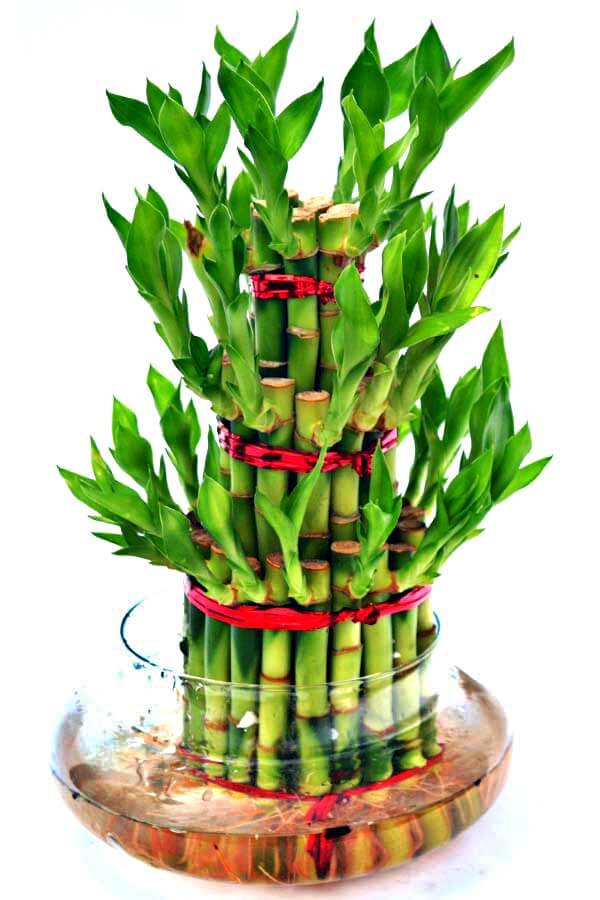 Picture of Lucky Bamboo - Bamboooz