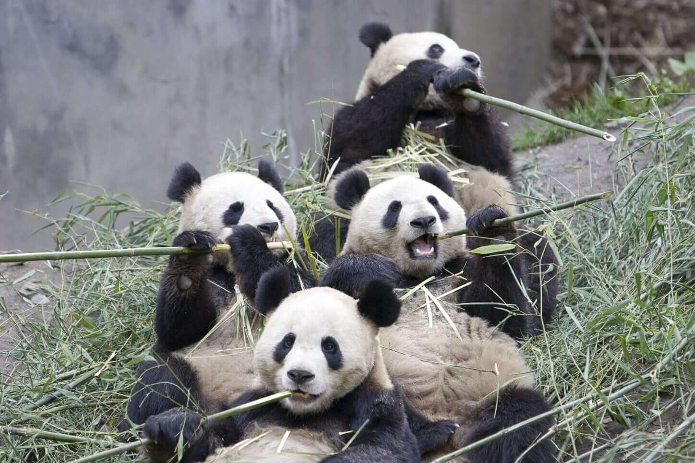 Bamboo Food for Pandas - Bamboooz